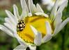 """Yellow Submarine"" Beetle (M. Carpentier) Tags: macromondays beatlesbeetles flower fleurs fleur yellow jaune coccinelle beetle marguerite daisy macro"