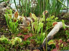 Dionaea mascipula (Laurent Moulin photographie) Tags: parc de la tete d or plante carnivore carnivorous plant serre greenhouse dionaea dionee mascipula attrappe mouche
