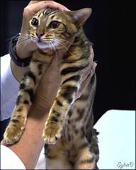 Exposition Fline (SylvieD.) Tags: chat cat flin