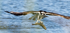 GOTCHA ! (Sandrine Biziaux-Scherson) Tags: osprey bird birds biziaux prey raptor river nature wildlife water wings irvine california sandrine scherson sanctuary joaquin flight fish fishing