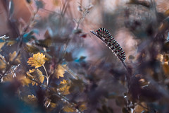 Les aventures merveilleuses d'une chenille au pays d'Alice (Fab. B) Tags: chenille machaon caterpillar butterfly swallow tail alice canon 7d sigma 180 macro nature fabienbravin