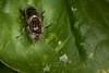 Eristalinus aeneus (iwanvh) Tags: arthropoda diptera eristalinusaeneus fauna insecta art artist biodiversity environement iwan iwanvh mouche naturalist naturaliste nature photographe photographer syrphe syrphidae vanhoogmoed wwwiwanvhcom