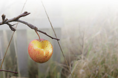 Manky apple in the winter fog (Nick.Ramsey) Tags: apple canonefs1755mmusm eos7dmarkii fruit plant seasons winter nibbled manky pecked