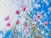PhoTones Works #8161 (TAKUMA KIMURA) Tags: photones olympus air a01 takuma kimura 木村 琢磨 landscape scenery natural plant flower cosmos autumn sky 風景 景色 自然 植物 花 コスモス 秋 空