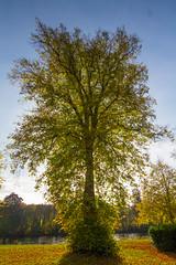 Backlit Lime Tree (Birnambeekeeper) Tags: lightroom tree limetree birnam scotland autumn sun