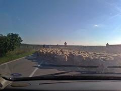 gregge2 (cristiano palese) Tags: gregge pecore