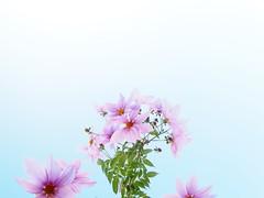 皇帝ダリア (Polotaro) Tags: mzuikodigital1442mmf3556ⅱr flower nature olympus epm2 pen 花 自然 オリンパス ペン 皇帝ダリア 11月