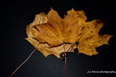 Autumn leaves. ((c) MAMF photography..) Tags: art autumn autumnleaves britain beauty beautiful colour november england flickrcom flickr google googleimages gb greatbritain greatphotographers greatphoto image mamfphotography mamf nikon photography photo trees uk westyorkshire
