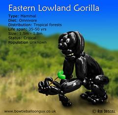 A-Z of Endangered Species – Eastern Lowland Gorilla (magirob) Tags: ape easternlowlandgorilla endangeredspecies gorilla jungle monkey primate rainforest wwf