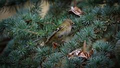 A Goldcrest / un roitelet hupp (Franck Zumella) Tags: goldcrest roitelet hupp jaune small bird oiseau arbre tree little smallest
