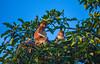 Nasalis Monkey in Borneo / Kinabangan Forrest (samuelleonknaus) Tags: proboscis monkey borneo kinabatangan river malaysia djungel rainforest adventure travel boatcruise
