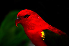 DSC_0020 Scarlet Parrot (tsuping.liu) Tags: outdoor blackbackground birds red redblack nature natureselegantshots naturesfinest animal ecology photoborder perspective pattern photographt