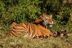 Licking His Chops (brev99) Tags: d7100 tulsazoo highqualityanimals tamron70300vc tiger nikoutputsharpener grass tongue