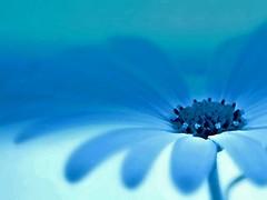 Monday Dreams (losy) Tags: bluemonday losyphotography dreams blue flower petals graden