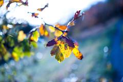 Cold Autumn (Jerainne) Tags: nature leaf leaves blatt bltter herbst autumn blur unschrfe kalt cold klte