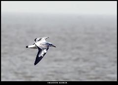 Brown-headed gull. (Masudur Rahman Mamoon) Tags: brownheadedgull wildlife wildlifephotography birds birdsphotography nikond500