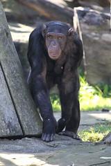 09-09-2016-taronga 018 (tdierikx) Tags: 09092016taronga tarongazoo taronga tdierikx chimpanzee naomi