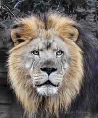 One very handsome lion! (AngelVibePhotography) Tags: feline animal riverbankszoo nature photography macro closeup bigcat lion zoo outdoor nikonp900 brown