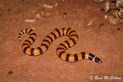 Desert banded snake (Simoselaps anomalus) Yulara NT (ross.mcgibbon) Tags: snake serpent canon700d herpetology herpphotography wildlife australia fauna scales habitat squamata reptile reptiles snakes elapid venomoussnakes species tail terrestrial herping nature conservation flora animals animal deserts sand beach sun sunset sky clouds northern southern eastern western red green blue yellow travel outback holiday photography canon wideangle macro slr lens camera photo image shot