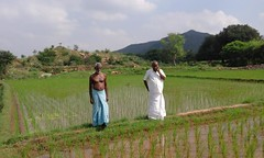 2016 Men in rice paddy (Foods Resource Bank) Tags: foods resource bank presbyterian pcusa chethana humanitarian food security income native seeds rice vegetables millet organic agriculture