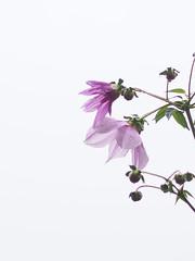 皇帝ダリア (Polotaro) Tags: mzuikodigital45mmf18 flower nature olympus epm2 pen 花 自然 オリンパス ペン 皇帝ダリア 庭 garden 11月
