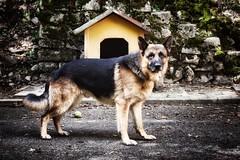 Xif (Japo Garca) Tags: perro animal retrato caseta cuidar pastoralemn vigilar domstico adiestrar japogarca retoquefotogrfico fotografa