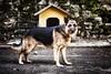 Xif (Japo García) Tags: perro animal retrato caseta cuidar pastoralemán vigilar doméstico adiestrar japogarcía retoquefotográfico fotografía