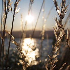 For all the gold of the world (nathaliedunaigre) Tags: paysage landscape lac lake laclman lman france suisse switzerland theotherside eau water bokeh gold or golden dor herbes wildgrass coucherdesoleil sunset carr square nature brillant brillance reflets reflections