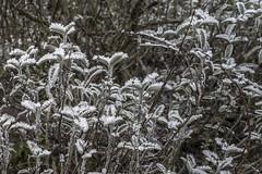 Erster Frost - 0027_Web (berni.radke) Tags: ersterfrost frost raureif wassertropfen rime eisblumen eiskristalle iceflowers icecrystals escarcha