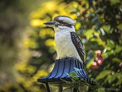 Kookaburra (mvhc88) Tags: kookaburra queensland australia nikon d750 28300mm birds animals