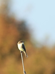 Eastern Phoebe 20161205 (Kenneth Cole Schneider) Tags: florida miramar westbrowardwca