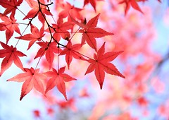 red maple leaves (marionetteMay) Tags: maple autumn kyoto japan