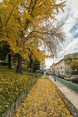 Ginkgo biloba (ambrasimonetti) Tags: ascolipiceno marche italy gingko biloba tree autumn albero yellow autunno saveearth