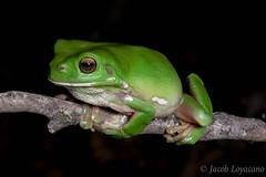 Green Tree Frog (Litoria caerulea) (JLoyacano) Tags: australia frog jacobloyacano litoriacaerulea amphibian anura australiangreentreefrog greentreefrog herp herping litoria nature treefrog wildlife