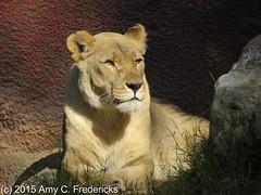 Los Angeles Zoo - Lioness (etacar11) Tags: california lions lazoo losangeleszoo zoos africanlion losangelesca pantheraleo flickrbigcats