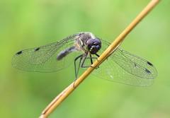 Black Darter (Lutra56) Tags: dragonflies dragonfly darter odonata blackdarter sympetrumdanae crowlemoor