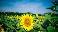 Sunflower Field - 1 (RGL_Photography) Tags: flowers plants us newjersey unitedstates sunflowers asteraceae floraandfauna helianthus cookstown sunflowerfield burlingtoncounty helianthusannuus nikonafsnikkor28300mmf3556gedvr nikond610