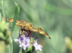 48 (Roberto Gramignoli) Tags: farfalle