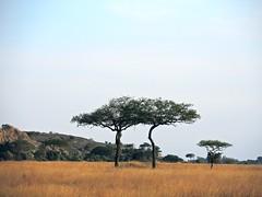 Tanzania (Serengeti National Park) Twin Flat-Top Acacia trees