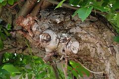 Versteckt und gefunden - Walnuss in Wahlsdorf (Sockenhummel) Tags: fuji finepix fujifilm bltter bume rinde x30 stamm borke juglansregia wahlsdorf fujix30