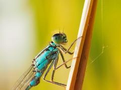 Gr Pechlibelle Ischnura elegans 150814-0407 Btzsee_SOOC_ (Pixel-Cat) Tags: macro berlin insect olympus makro libelle insekt damselfly brandenburg omd zygoptera ischnura strausberg em5 sooc pechlibelle btzsee mzuiko1250mm13563iiez