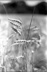 Trigo (rodrigo.blackburn) Tags: blackandwhite nature spain wheat cereal burgos trigo agricultura castillaylen olympusom2n d7611 fomapan200 nikoncoolscaniv camposdecastilla zuiko50mm14