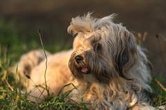 Milla (Andreas 1363) Tags: dogs tibetanterrier nikon d750 carlzeiss tibetterrier zf2 planart1485
