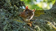 Orav - Squirrel (Kerttu Treksler) Tags: squirrel estonia eesti sciurusvulgaris orav kastna harilikorav punaorav