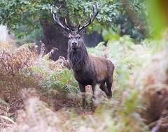 Minsmere Deer Rut (Giuseppe Baldan) Tags: