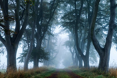 The beeches (Stuart Stevenson) Tags: uk blue autumn trees mist cold fog photography scotland cool changingseason foggy canopy autumnal atmospheric beech lanark clydevalley stuartstevenson wwwzerogravitymeuk appicoftheweek