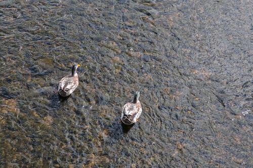 Canards colvert (Anas platyrhynchos) à Gernsbach