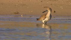 Sandpiper (Rob Zabroky) Tags: nature texas wildlife sandpiper padreisland padreislandnationalseashore robzabroky robzabrokywildlife robzabrokywildlifephotography
