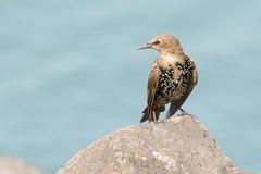 DSC_1359  Spreeuw : tourneau sansonnet : Sturnus vulgaris : Star : Common Starling