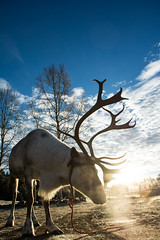 Lukas the Reindeer (L.K. PICTURES) Tags: sun cold nature animal norway reindeer finnland north sunrays scandinavian